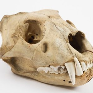 Skull of a bear from the museum collections