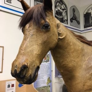 Jimmy, the Doctor's horse. A stuffed horse at the Herefordshire Museum
